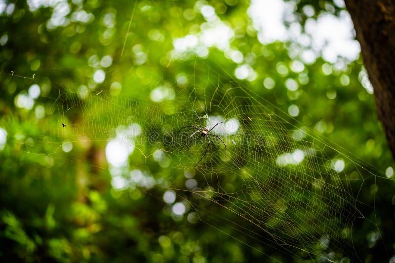 Guld- siden- Orb Weaver Nephila eller jätte- träspindlar eller bananspindlar Stor färgrik spindel på dess rengöringsduk i skog royaltyfri fotografi