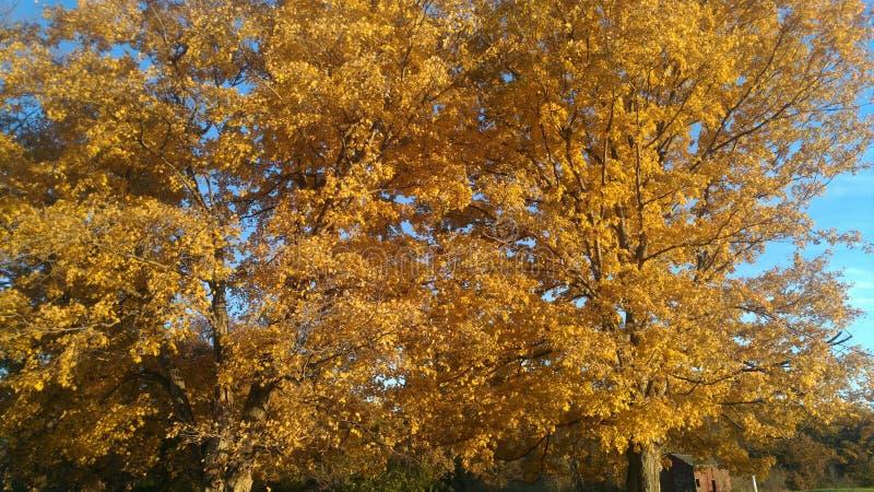 Guld- sidor på träd med solen som skiner på dem arkivbilder