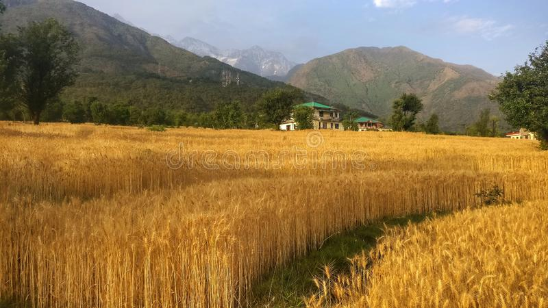 Guld- skördvetefält av den avlägsna bergregionkangraen Himachal Indien royaltyfria bilder