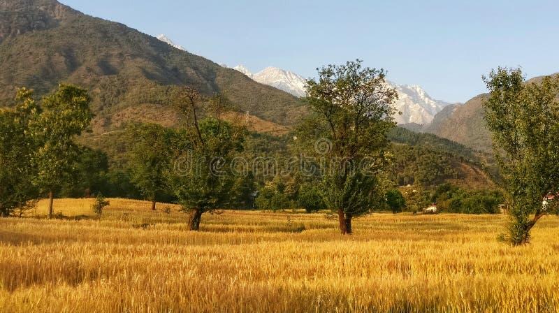 Guld- skördvetefält av den avlägsna bergregionkangraen Himachal Indien royaltyfria foton