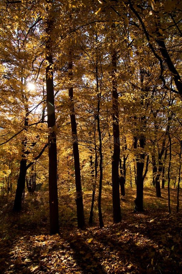 guld- skog arkivfoto