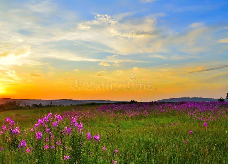 Guld- solnedgång över att blomma sommarängen med att blomstra rosa mjölkörtblommor royaltyfria foton