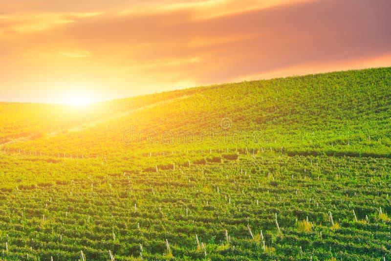Guld- solnedgång över en grön vingårdkulle fotografering för bildbyråer