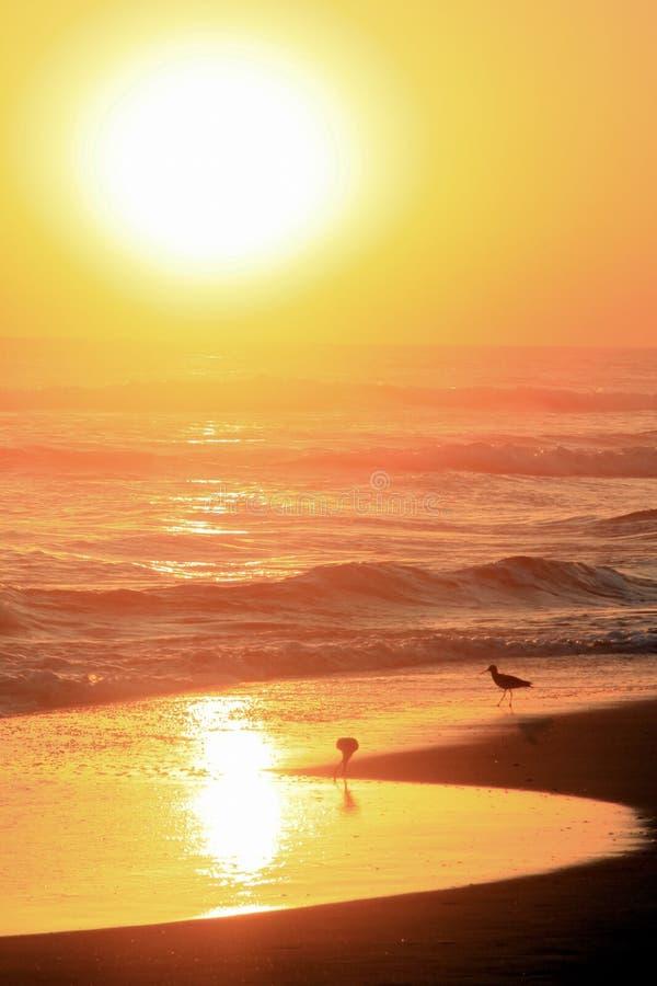 Guld- solnedgång över tropiska fåglar som betar på Stilla havetstranden royaltyfri foto