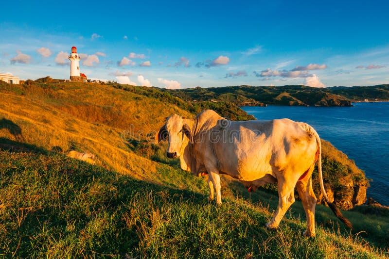 Guld- solnedgång med en ko i Rollinget Hills av Batanes fotografering för bildbyråer