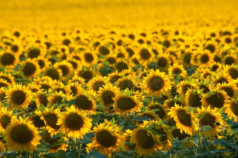 guld- solros för fält royaltyfria foton