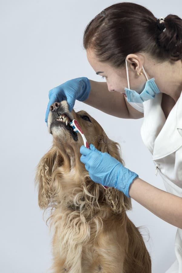 Guld- spanielhund på veterinärmottagandet royaltyfria bilder