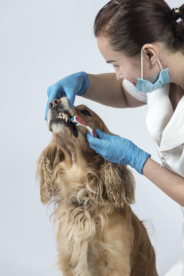 Guld- spanielhund på veterinärmottagandet arkivbilder