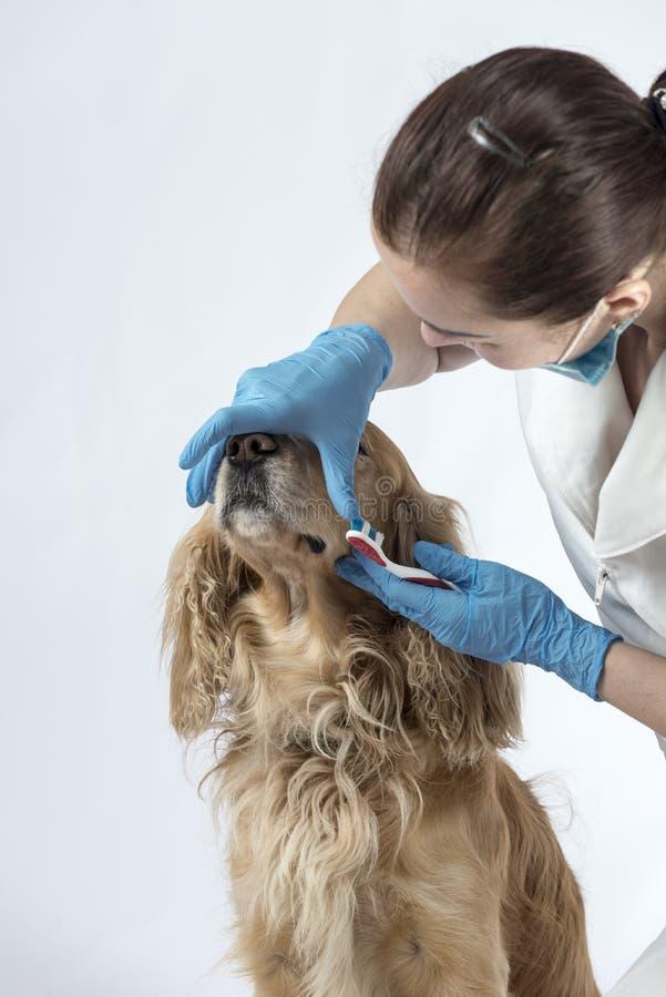 Guld- spanielhund på veterinärmottagandet royaltyfri bild