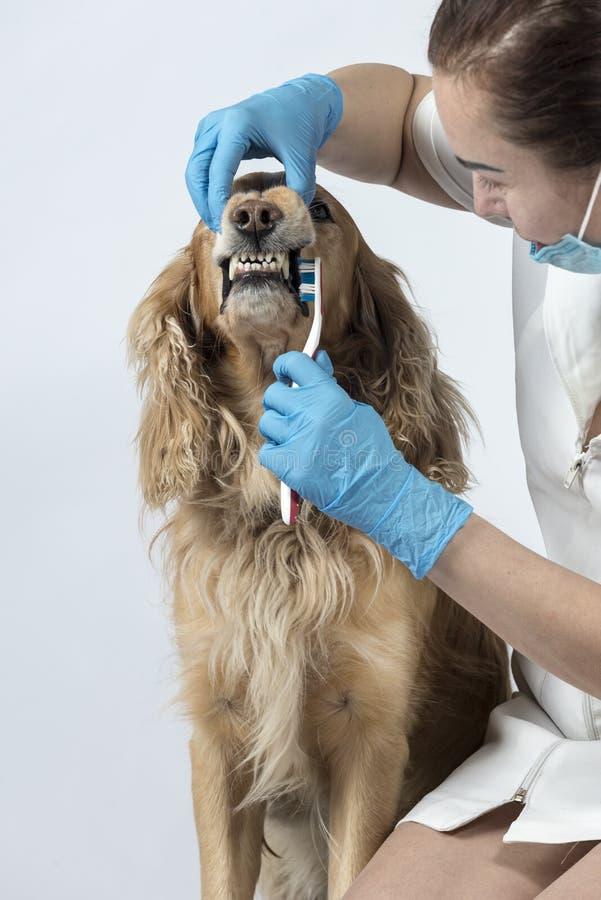 Guld- spanielhund på veterinärmottagandet royaltyfri foto