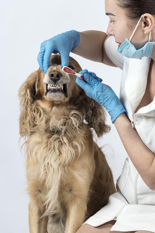 Guld- spanielhund på veterinärmottagandet arkivfoton