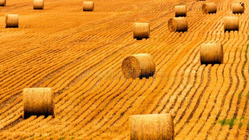 Guld- sugrörfält med höbaler Skördäng i guld- gula färger royaltyfri foto
