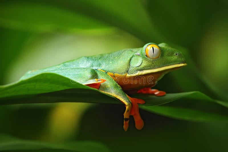 Guld--synad bladgroda, Cruziohyla calcarifer, grön groda på tjänstledigheterna, Costa Rica fotografering för bildbyråer