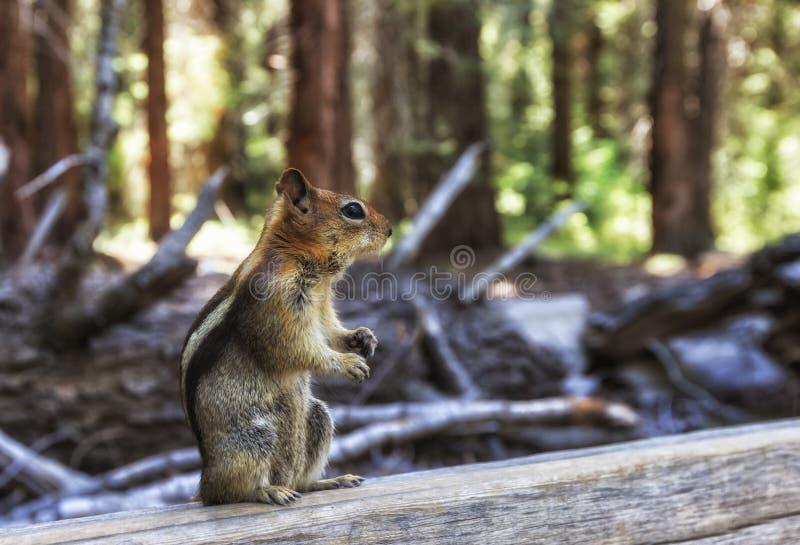 Guld--täckt jordekorre i sequoiaskog royaltyfria foton