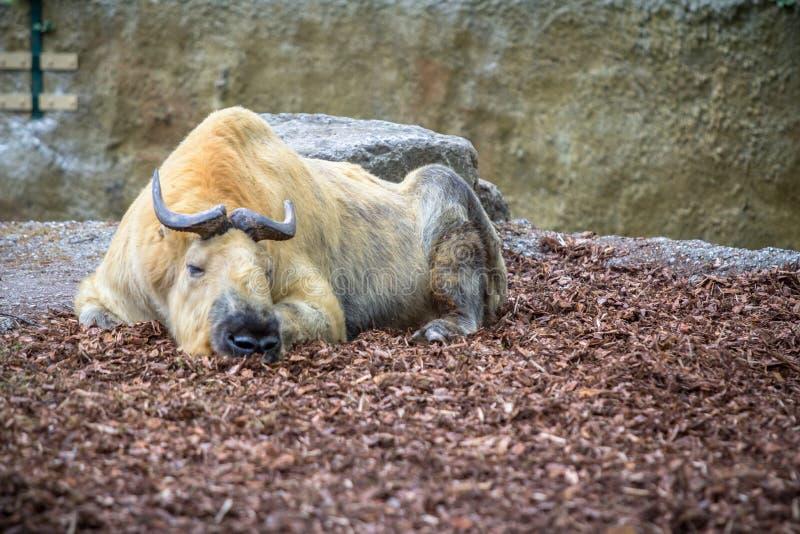 Guld- takin i en zoo, Berlin royaltyfri bild