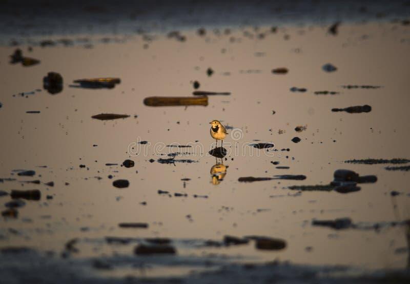 guld- tokig wigtailvärld royaltyfri foto
