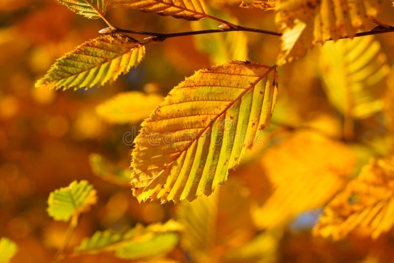 Guld- träd för nedgångbladbokträd fotografering för bildbyråer