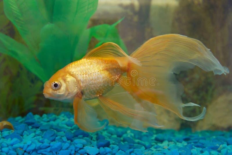 guld- tropiskt för fisk royaltyfri bild