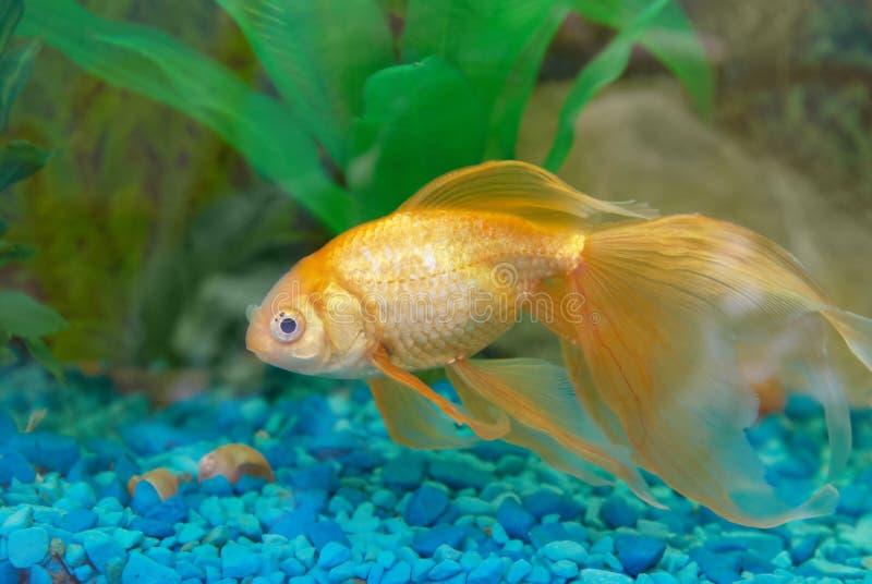 guld- tropiskt för fisk arkivbild
