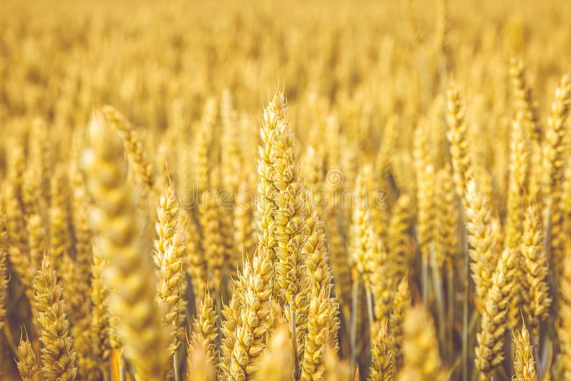 guld- vete för fält Övre för för vetestjälk och korn nära selektiv fokus i mjuka skuggor av guling och apelsin Sommarskördbegrepp royaltyfri foto
