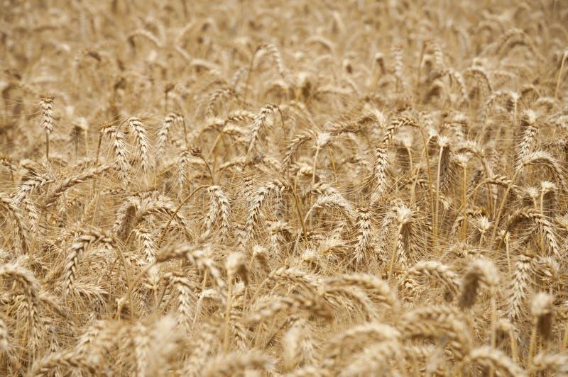 guld- vete för fält fotografering för bildbyråer