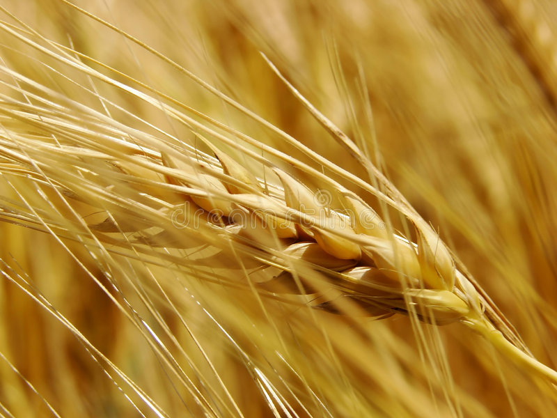 guld- vete för fält royaltyfri foto
