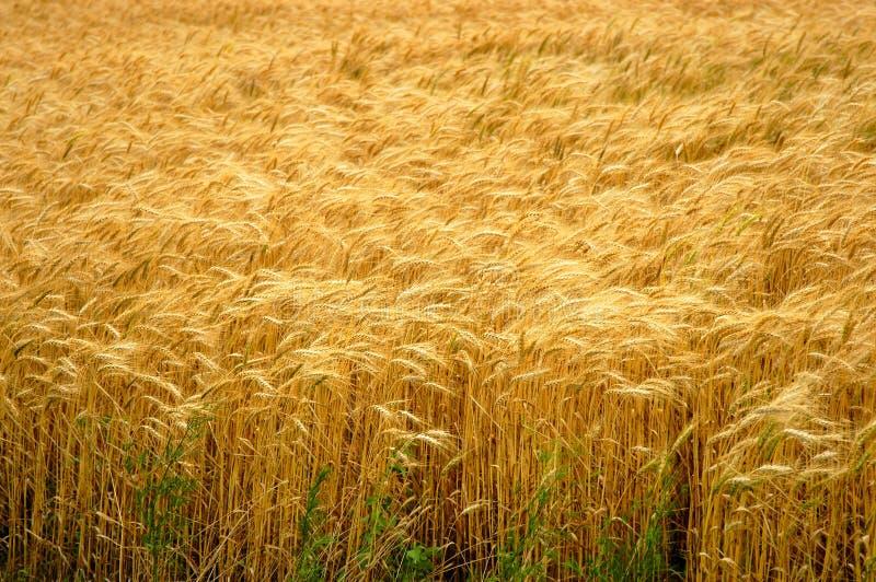 Download Guld- vete för fält arkivfoto. Bild av husk, stjälkar, lantgård - 35010