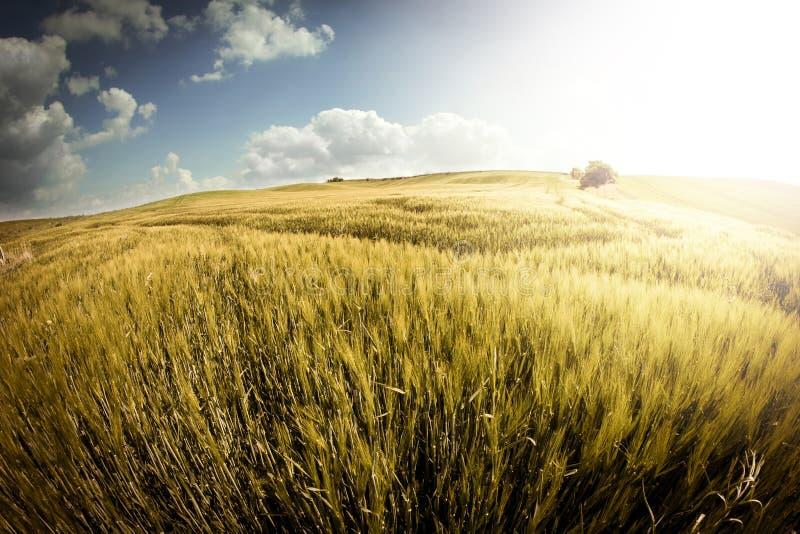 guld- vete för fält arkivbild