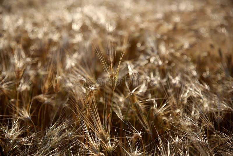 guld- vete för kornfält royaltyfria bilder