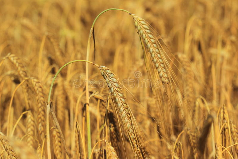guld- vete för kornfält arkivbild