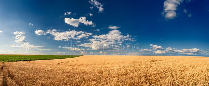 Guld- vetefält för skörd royaltyfri fotografi