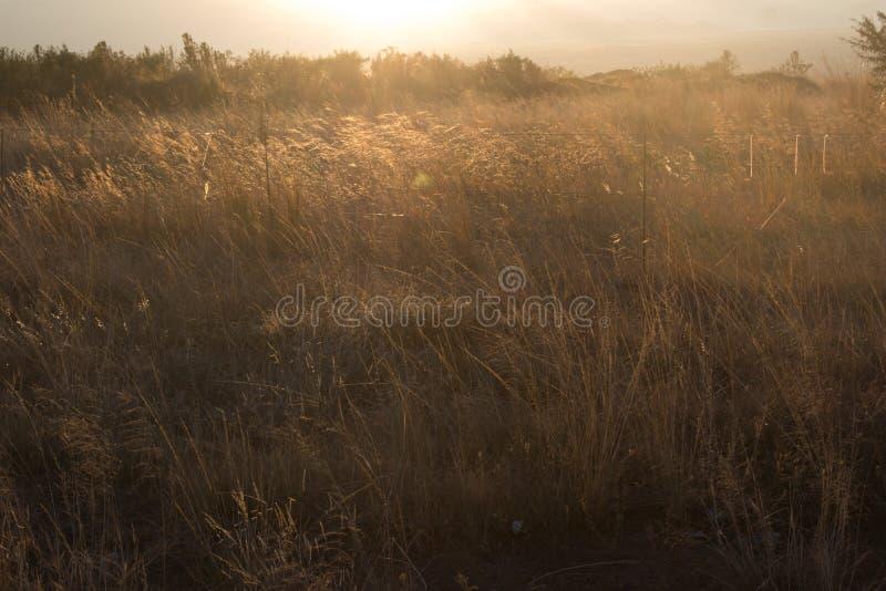 Guld- vintergräs som glöder i ottasolljuset arkivbild