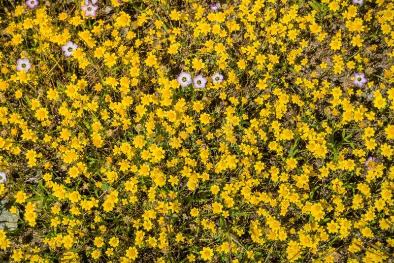 Guldfält som blommar på en äng, några giliavildblommor bland dem, Kalifornien; sikt från ovannämnt royaltyfri foto
