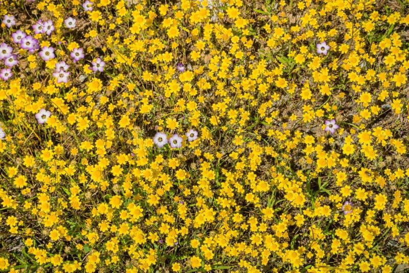 Guldfält som blommar på en äng, några giliavildblommor bland dem, Kalifornien; sikt från ovannämnt royaltyfri bild