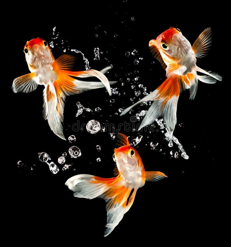 guldfisk royaltyfri fotografi