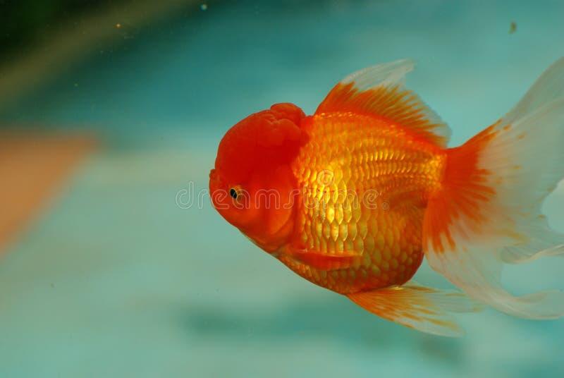 guldfisk royaltyfri bild