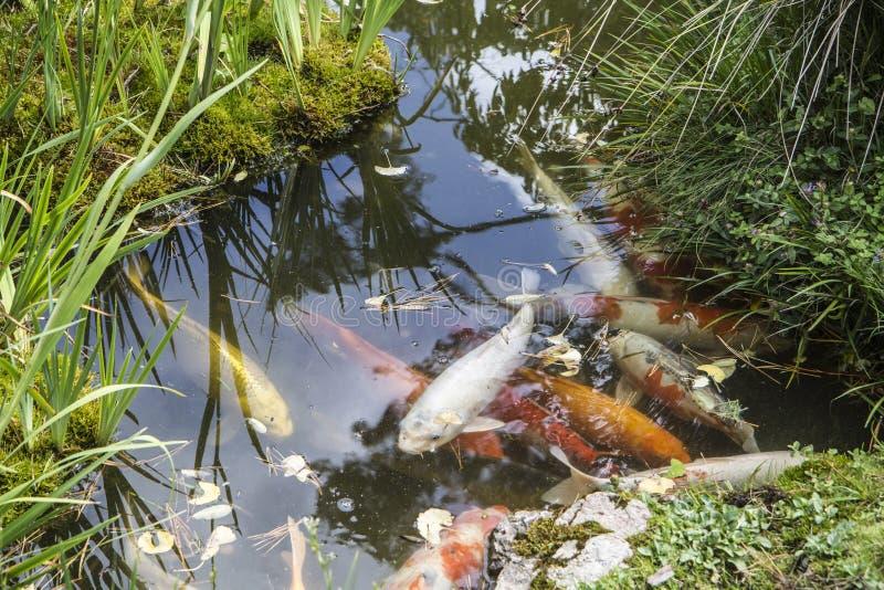 Guldfisk i ett damm royaltyfri foto
