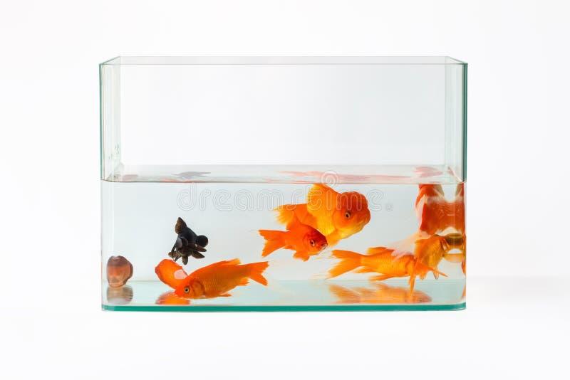Guldfisk i glass den isolerade fiskbehållaren arkivfoton