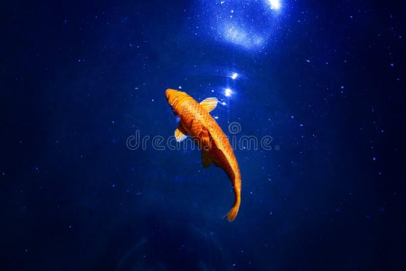 Guldfisk i mörkt - den blåa glödande röd och gul japanska koikarpen för vatten, simmar i dammslut upp, abstrakt guld- fiskkonstel royaltyfria foton
