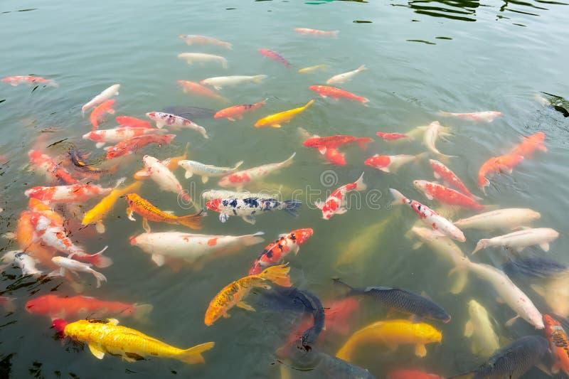 guldfisk isolerad white fotografering för bildbyråer