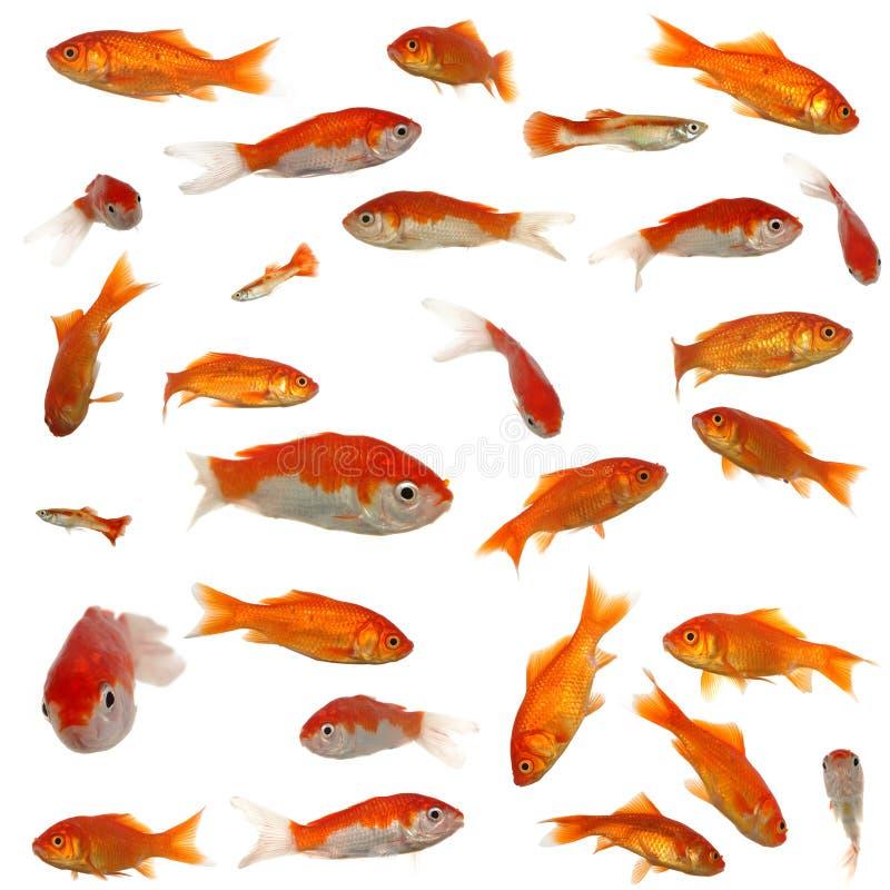 guldfisk många royaltyfri bild