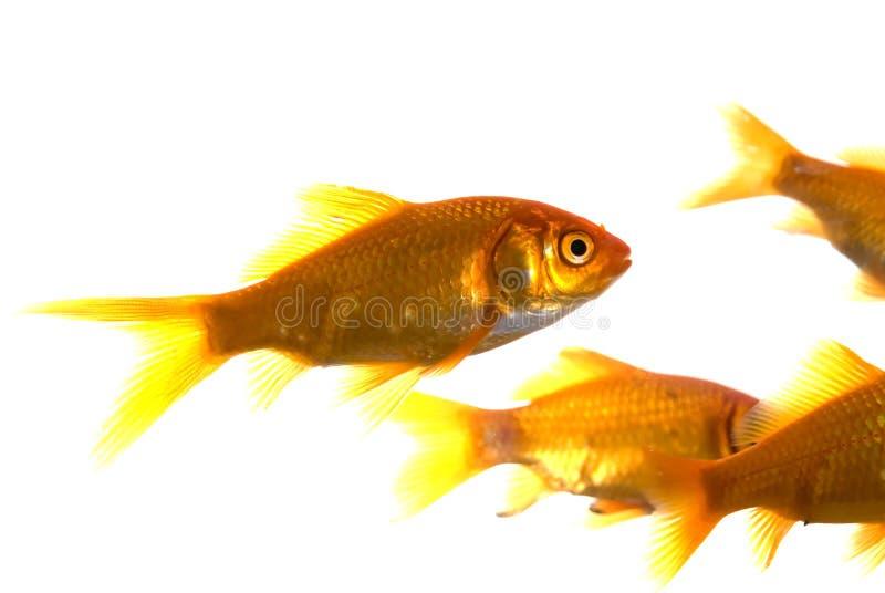 Guldfisk som isoleras över vit
