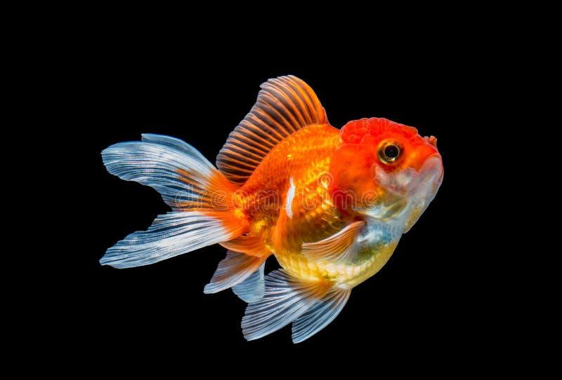 Guldfisk som isoleras på svart bakgrund royaltyfria foton