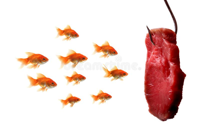 Guldfisk som ser betet arkivfoton
