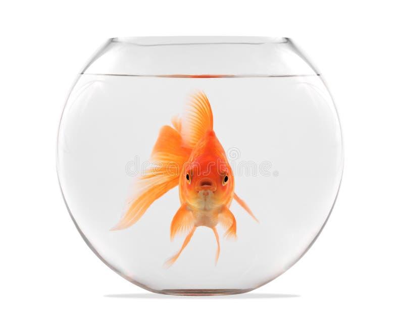 Guldfisk som svävar i den glass sfären arkivfoton