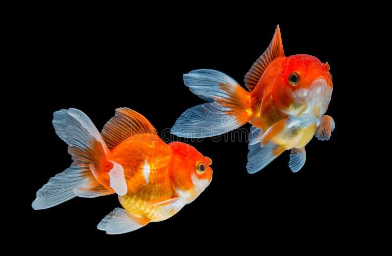 Guldfisk som två isoleras på svart bakgrund royaltyfri fotografi