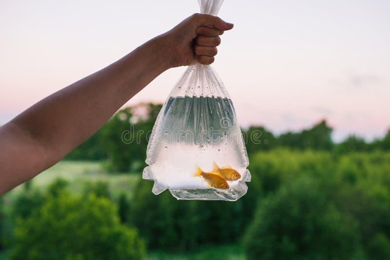 Guldfisk två i plast- förpacka Den kvinnliga handen rymmer packen med fiskar I bakgrundsskogen träd, buskar och royaltyfri bild