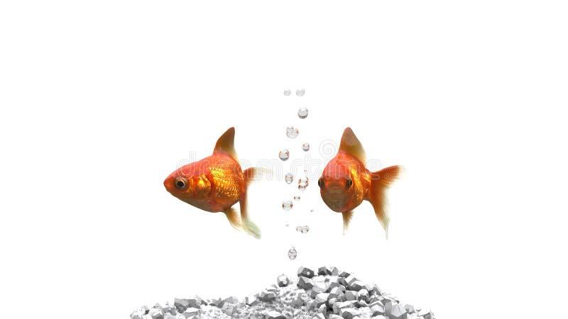 Guldfisk två med luftbubblor dem emellan royaltyfri bild