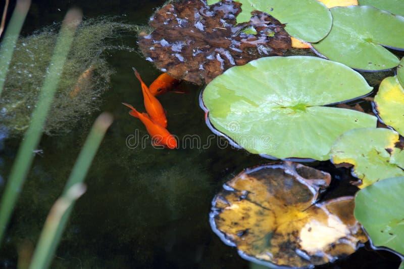 guldfiskar arkivfoto