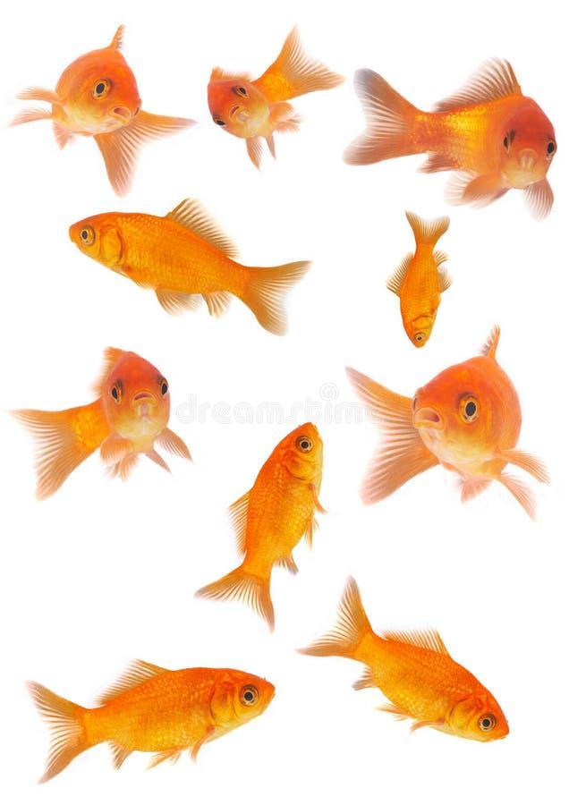 guldfiskar royaltyfria foton